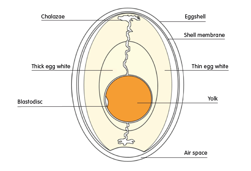 Ovyta - What are the parts of a chicken egg ?